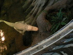 Claude the albino aligator