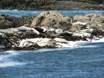 sea lions and sea foam at Tide Pool Beach