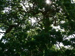 an Old Oak Tree at The Ruth Bancroft Gardens